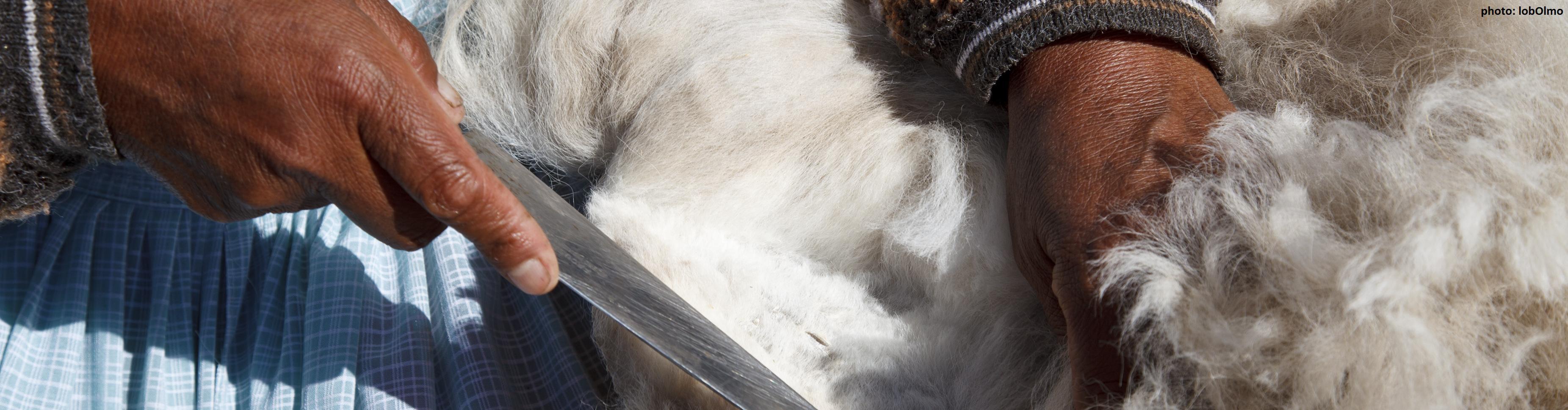 Gewinnung von Alpaka-Hautwolle, Puno, Peru (CIAP, WFTO)